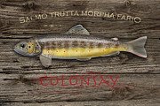 Trout Mixed Media Prints - Isle of Colonsay - Brown Trout Salmo Trutta - Hebrides - Islay - Jura - Skye - Mull - Fish Sign  Print by Urft Valley Art