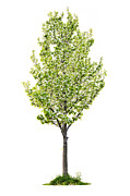 Pear Tree Posters - Isolated flowering pear tree Poster by Elena Elisseeva