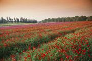 Poppy Fields Posters - Israel---farming Poppies Papaver Poster by Richard Nowitz