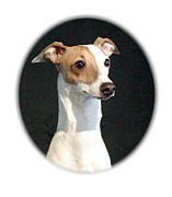 Ig Art - Italian Greyhound 102 by Larry Matthews