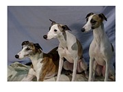Greyhound Prints Digital Art - Italian Greyhound 279 by Larry Matthews