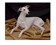 Ig Art - Italian Greyhound 619 by Larry Matthews