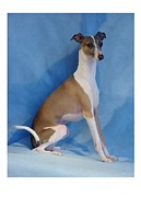 Ig Art - Italian Greyhound 814 by Larry Matthews