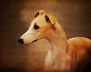 Greyhound Photos - Italian Greyhound by Jai Johnson
