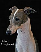 Greyhound Photos - Italian Greyhound by Larry Linton