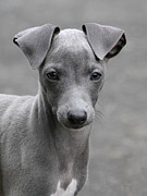 Greyhound Photo Posters - Italian Greyhound Puppy 2 Poster by Angie Vogel