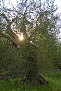 Roger Mullenhour - Italian Olive Tree