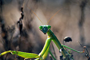Praying Mantis Photos - Its Time To Pray by Lori Tambakis