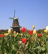 Dutch Landscape Posters - Its Tulip Time Poster by Robert Pearson