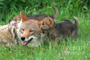 Coyote Photos - Ive Got A Secret by Sandra Bronstein