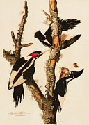 Woodpeckers Paintings - Ivory Billed Woodpecker by Pg Reproductions