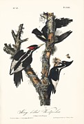 Ivory-billed Woodpecker Posters - Ivory-billed Woodpeckers, Artwork Poster by Humanities And Social Sciences Librarynew York Public Library