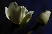 The Flower Photographer - Ivory Blue by Glenn Franco Simmons