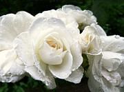 Raindrops Prints - Ivory Rose Bouquet Print by Jennie Marie Schell
