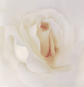 Abstract Roses Prints - Ivory Rose Splendor Flower Print by Jennie Marie Schell