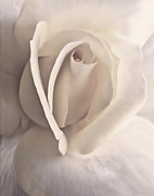 White Flower Photos - Ivory Splendor Rose Flower by Jennie Marie Schell