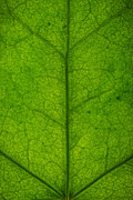 Back Lit Photos - Ivy Leaf by Steve Gadomski