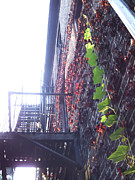 Escape Photo Originals - Ivy up fire escape by James McDowell