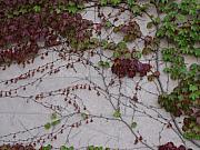 Anna Villarreal Garbis Prints - Ivy Wall II Print by Anna Villarreal Garbis