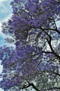 Jacaranda Clouds Print by Gwyn Newcombe