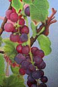 Grape Leaf Framed Prints - Jack and the Beanstalk Wine Grapes Framed Print by Kristin Wetzel