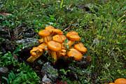 Jack Olantern Mushrooms 13 Print by Douglas Barnett