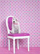 Pampered Pet Framed Prints - Jack Russel (canis Lupus Familiaris) On Chair Framed Print by Catherine Ledner
