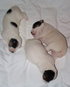 Black And White Jack Russell Terrier Puppies Photos - Jack Russell Terrier Puppies by Linda Parker
