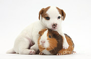 Jack Russell Prints - Jack Russell Terrier Puppy And Guinea Print by Mark Taylor