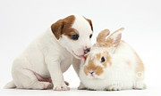 Jack Russell Prints - Jack Russell Terrier Puppy And Young Print by Mark Taylor
