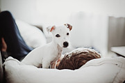 Dog Lying Down Prints - Jack Russell Terrier Puppy With His Owner Print by Lifestyle photographer