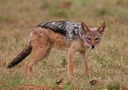 Canid Photos - Jackal by Bruce J Robinson