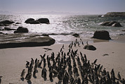 Rock Groups Photo Posters - Jackass Penguins Along The Shoreline Poster by Joel Sartore