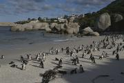 South Africa Prints - Jackass Penguins Strut For Tourists Print by Stacy Gold