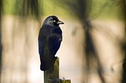 Corvus Prints - Jackdaw On A Fence Post Print by Duncan Shaw