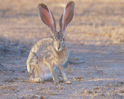 Jackrabbit Art - JackRabbit Watching by Steven Love