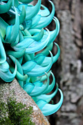 Jade Vine Prints - Jade Vine close up Print by Kelly Headrick