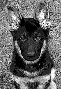 German Shepard Digital Art - Jager by Stacey May