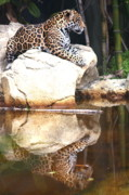 Diane Merkle Prints - Jaguar at Rest Print by Diane Merkle
