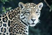 Diane Merkle - Jaguar