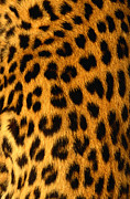 Leopard Print Framed Prints - Jaguar Fur Framed Print by Siede Preis