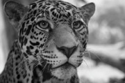Jaguars Prints - Jaguar in Black and White Print by Sandy Keeton