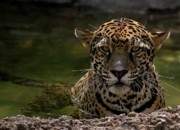Jaguars Prints - Jaguar in the Water Print by Sandy Keeton