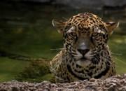 Jaguar In The Water Print by Sandy Keeton