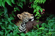Amazon Acrylic Prints - Jaguar Panthera Onca Peeking Acrylic Print by Claus Meyer
