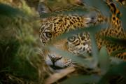 Jaguars Prints - Jaguar Panthera Onca, Stalking, Peers Print by Jason Edwards