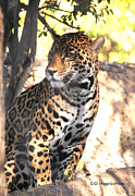 Jaguars Framed Prints - Jaguar Poise Framed Print by DiDi Higginbotham