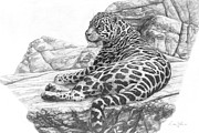 Graphite On Paper Posters - Jaguar relaxing Poster by Dave Hills