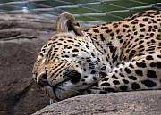 Beautiful Cat Art - Jaguar sleeping by Miguel Celis