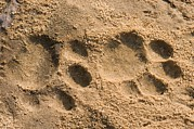 Animal Paw Print Posters - Jaguar Tracks Poster by Tony Camacho